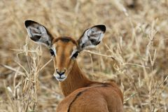 Female impala Royalty Free Stock Image