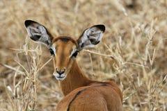 Female impala. Impala antilope looking at the photographer Royalty Free Stock Image