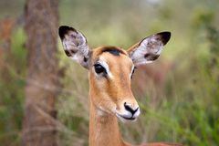 Female impala (Aepyceros melampus) Royalty Free Stock Photography