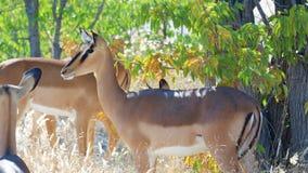 Female Impala aepyceros melampus. Group of Female Impala aepyceros melampus in Etosha park Namibia stock photo