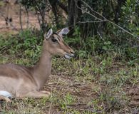 Female Impala, Aepyceros melampus, sitting down. And mouth slightly open showing teeth. Kruger National Park, South Africa stock photos