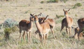 Female Impala. In Africa bush stock photo