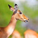 Female impala antelope Stock Images