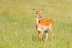 Female Impala, Antelope chewing green grass on field at Serengeti National Park in Tanzania, East Africa. Female Impala, Antelope chewing green grass on field royalty free stock images