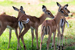 Female Impala antelope Royalty Free Stock Photos