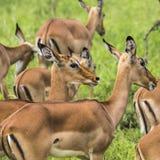 Female impala antelopes in Maasai Mara National Reserve, Kenya. Stock Images