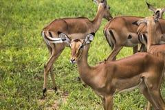 Female impala antelopes in Maasai Mara National Reserve, Kenya. Royalty Free Stock Images