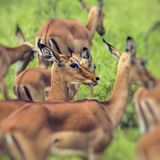 Female impala antelopes in Maasai Mara National Reserve, Kenya. Stock Image
