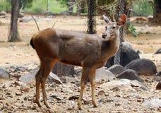 Female impala Royalty Free Stock Image