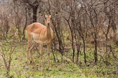 Female impala. In the bush stock photography