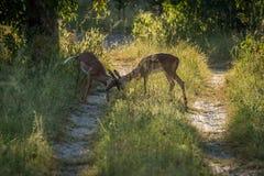 Female impala butting heads on woodland track Royalty Free Stock Photo