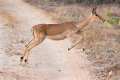 Female impala doe running and jumping away from danger. Female impala doe running and jumping away from a danger Royalty Free Stock Photo