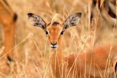 Female Impala. Eating grass, Nakuru Lake, Kenya stock images