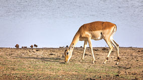 Female impala grazing at the edge of a waterhole Royalty Free Stock Image
