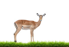 Female impala with green grass isolated Royalty Free Stock Image