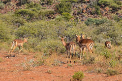 Female Impala. A group of female Impala in Southern African savanna royalty free stock photos