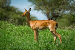 Female impala with head turned in grass stock photo