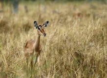 Female Impala. Royalty Free Stock Photography