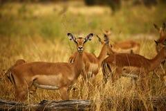 Female Impala. Stock Photos