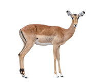 Female impala isolated. On white background royalty free stock image
