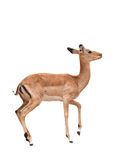 Female impala isolated Stock Photo