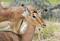 Female impala Royalty Free Stock Photos