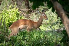 Female impala looks at camera among bushes stock photos