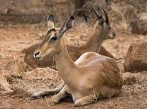 Female impala lying down on dry ground. A female impala lying down with young male in the background stock photo