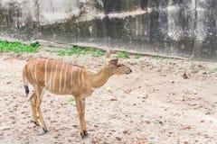 Female impala. Female impala in the open zoo royalty free stock photography