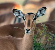 A female impala pauses from eating to look at the photographer. In Botswana royalty free stock photos