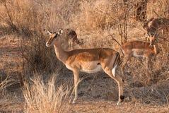 Female impala. Portrait, african savannah stock photo
