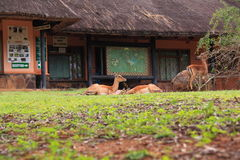 Female impala resting. In front of the Mkuze national park reception on the green grass stock images