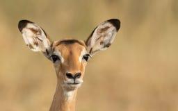 Female Impala, Serengeti, Tanzania. One alert Female Impala, Serengeti, Tanzania Royalty Free Stock Photography