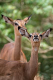 Female Impala. A female impala sniffs curiously at us onlookers Stock Image