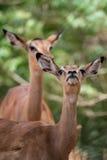 Female Impala Stock Image