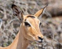 Female Impala. A female Impala in Southern African savanna royalty free stock image
