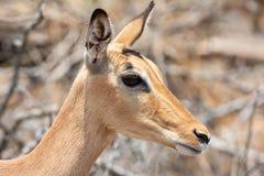 Female Impala. A female Impala in Southern African savanna royalty free stock photo