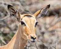 Female Impala. A female Impala in Southern African savanna royalty free stock images