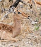 Female Impala. A female Impala in Southern African savanna royalty free stock photos