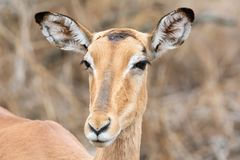 Female Impala. A female Impala in Southern African savanna royalty free stock photography