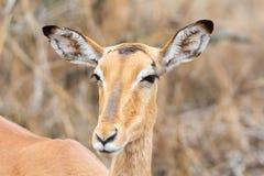 Female Impala. A female Impala in Southern African savanna stock photography