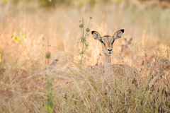 Female impala standing in tall grass. Moremi game reserve, Botswana, Africa royalty free stock photography
