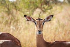 Female impala starring at the camera. Stock Photography