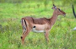 Female Impala. In Tala Game Reserve, KZN, South Africa royalty free stock photos