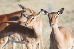 Female Impala. Watching and listening royalty free stock image