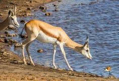 Female impala at waterhole Stock Image