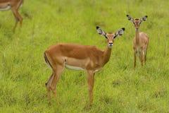Female Impala in the wilderness. Female Impala in Lake Mburo National park in Uganda royalty free stock images
