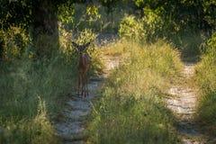 Female impala on woodland track facing camera Stock Image