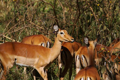 Female impalas. Group of female impalas in Africa Stock Images