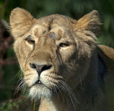 Female Indian or Asiatic Lion Royalty Free Stock Images
